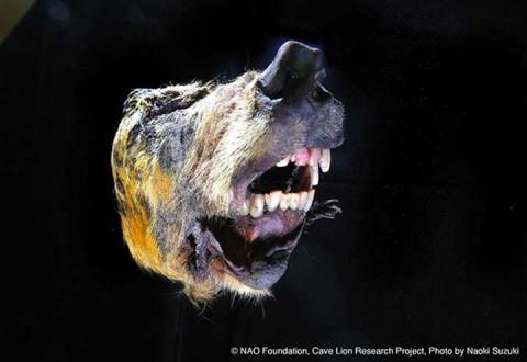 Hallan la cabeza de un lobo prehistórico de hace 40 mil años con todo y cerebro