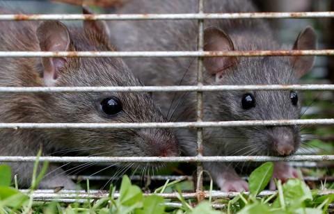 Plaga de ratas invade el Palacio de Buckingham y la reina Isabel II está horrorizada