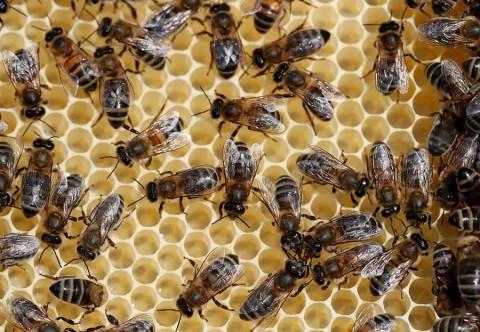 Alerta en Rusia por muerte masiva de abejas en todo el país