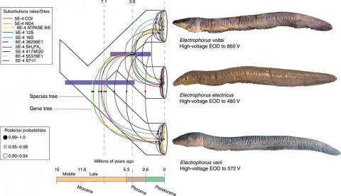 Descubren en la Amazonia a la anguila eléctrica más potente