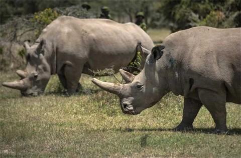 Rayo de esperanza para rinoceronte banco: crecen embriones in vitro