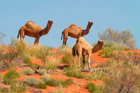 Matarán a 10 mil camellos salvajes en Australia por agua