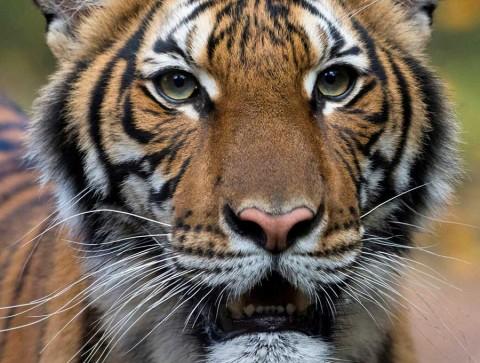 Detectan coronavirus en tigres y leones de zoológico en NY