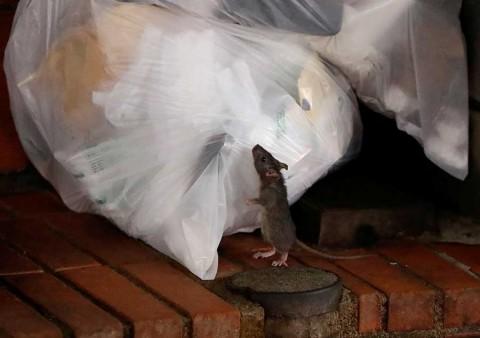 Coronavirus: Ratas agresivas y hasta caníbales por falta de comida, alertan en EU