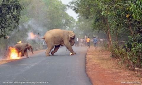 Terrible imagen de elefante en llamas gana concurso
