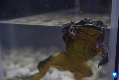 Romeo, la rana solitaria busca pareja en Internet para salvar su especie