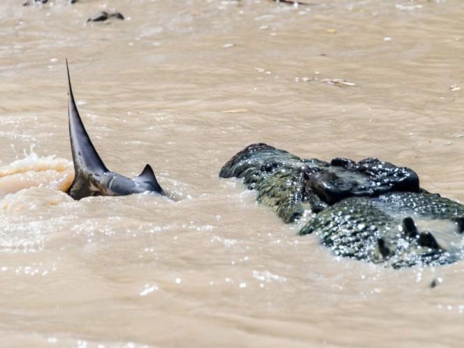 Captan a cocodrilo engullendo a tiburón en épica batalla en Australia