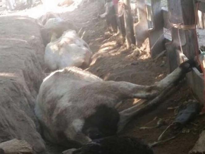 Los animales muertos fueron abandonados en posiciones similares