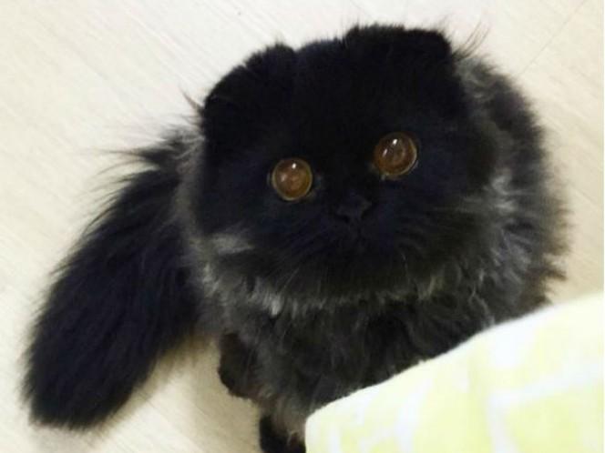 Gimo ha sido comparado con un buhó por sus grandes ojos y largo pelaje