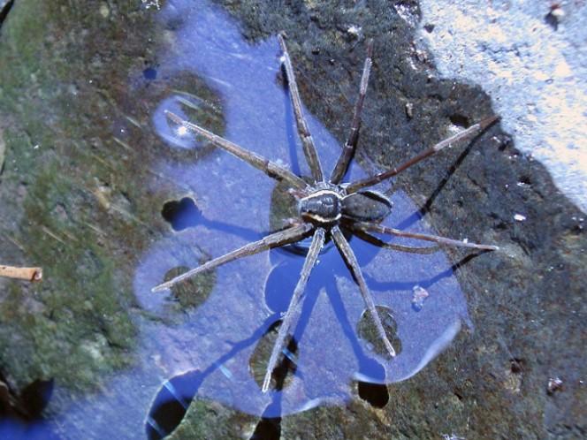 Dolomedes briangreenei, la nueva araña que puede nadar y pescar