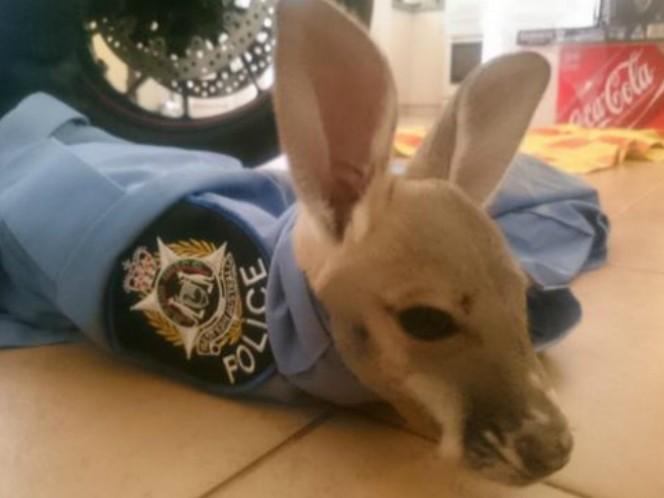 Cue, el tierno canguro que adoptó a un policía como su papá