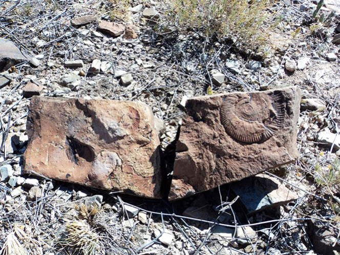 Fósiles de ammonite descubiertos en Chihuahua