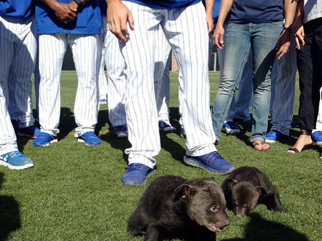 Dos osos bebés en el entrenamiento de Chicago (AP)