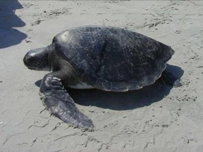La tortuga prieta es marina