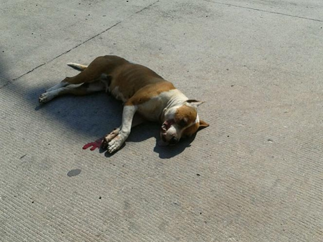 Policía dispara y mata a pitbull que atacó a menor en Aguascalientes