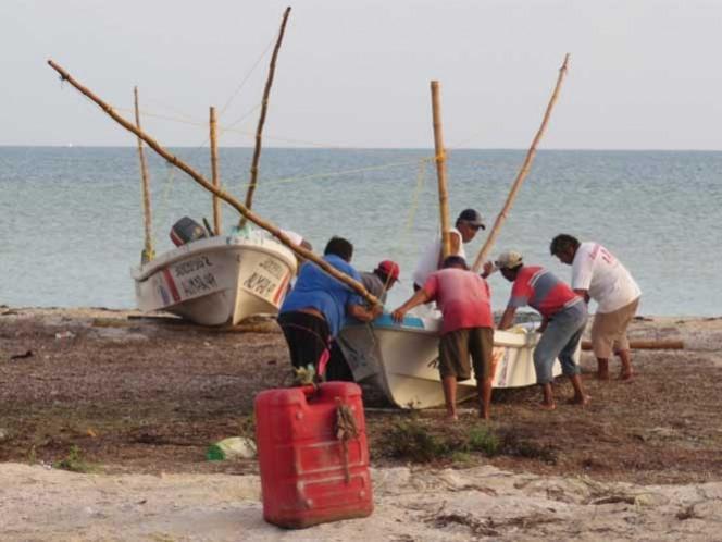 Se prevé que durante la segunda semana de la temporada de pulpo, alcance un precio de 68 pesos