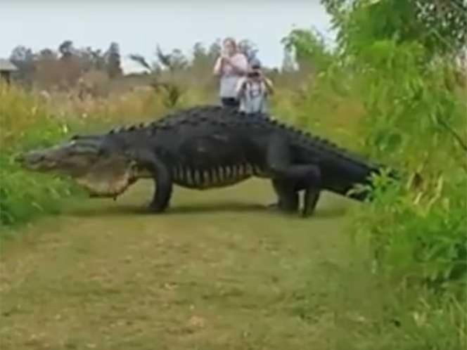 EE.UU. / FLORIDA: Este enorme cocodrilo hizo que todos se preguntaran si es real o es Photoshop