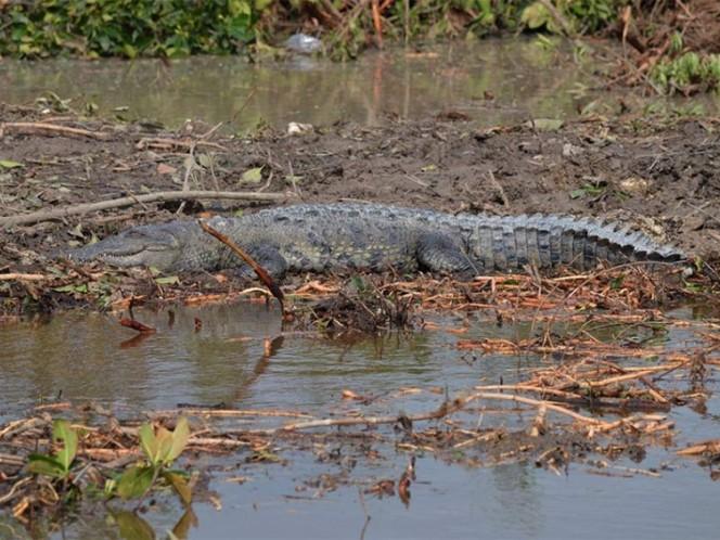 Gigantesco lagarto 'devora' a pescador en Tabasco