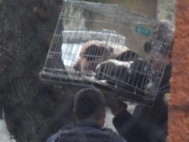 Muere menor de tres años tras ataque de Pitbull en Coyoacán