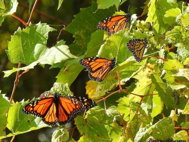Cambio climático retrasa vuelo de mariposas monarca a México