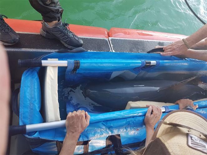 Vaquita marina murió tras ser capturada en México