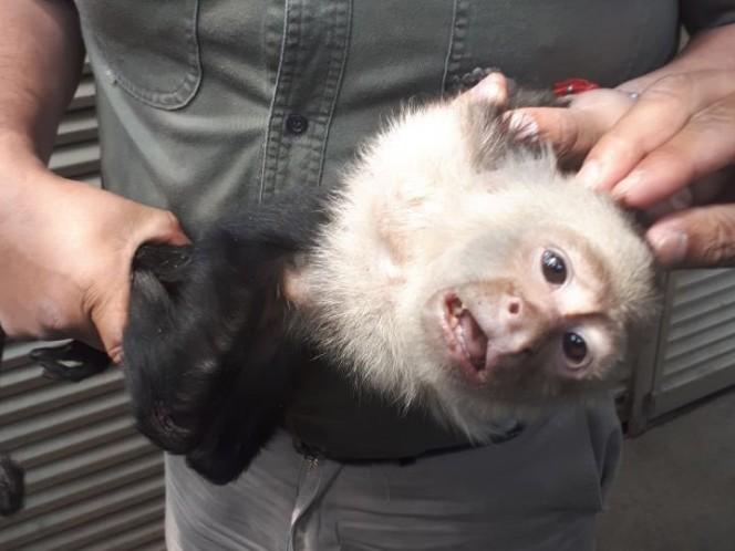 Atrapan al Mono Capuchino prófugo, será ingresado a Chapultepec
