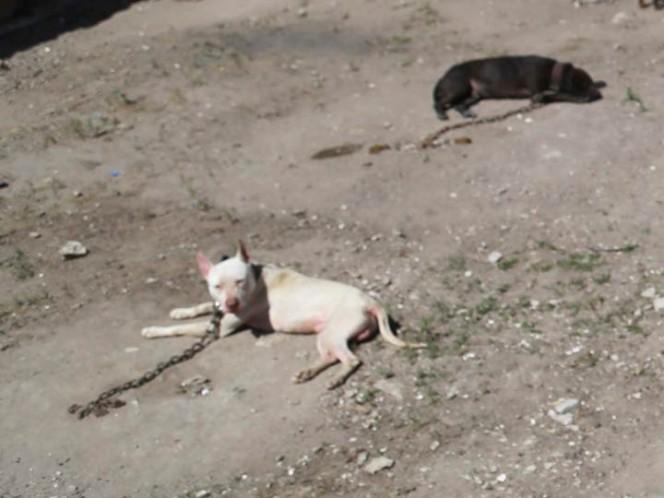 Dos pitbull matan a menor en Edomex