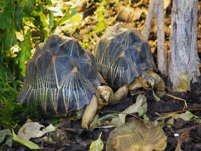 Rescatan a 10 mil tortugas en peligro en Madagascar