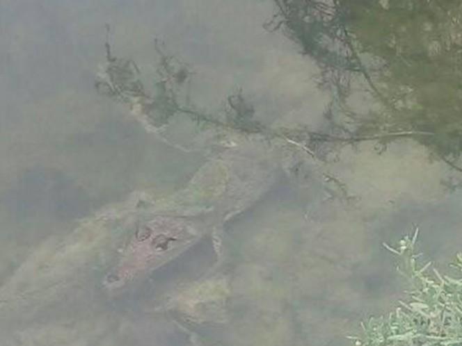 Reportan avistamiento de cocodrilos en colonia La Alianza