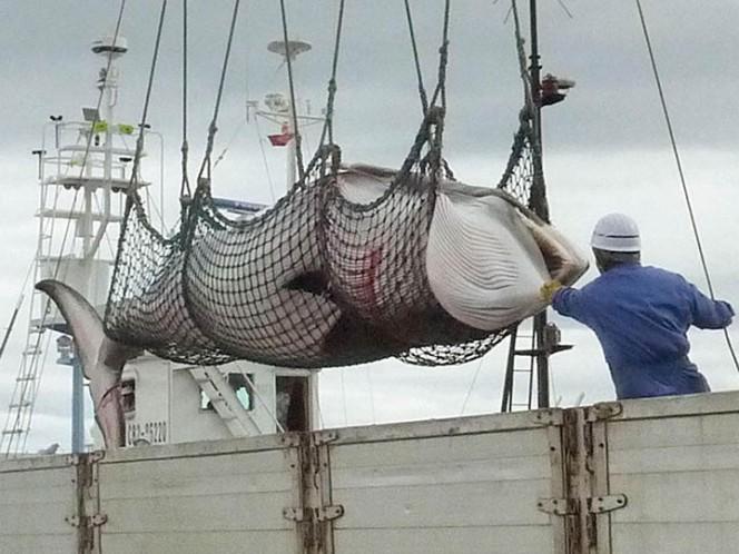 Japón caza 122 ballenas Minke que estaban embarazadas
