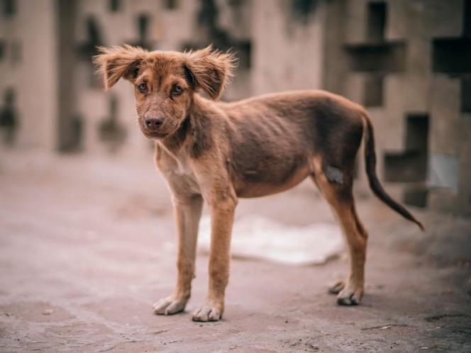 México, con la mayor población de perros callejeros en América Latina