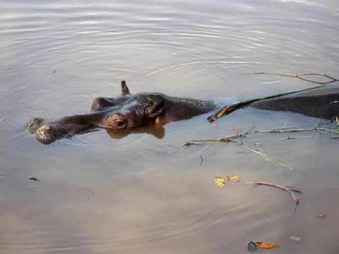 Hipopótamo ataca y mata a turista en Kenya