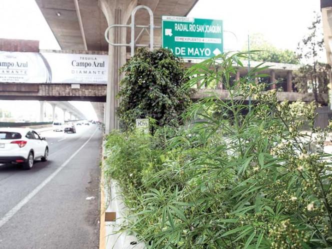 Crecen plantas de mariguana en camellón de Periférico