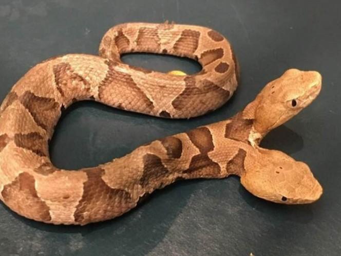 Fotos: Encuentran serpiente venenosa con dos cabezas