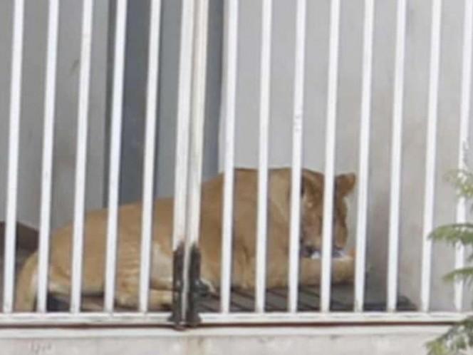 Profepa va por leones a Iztacalco; dueño se niega a entregarlos