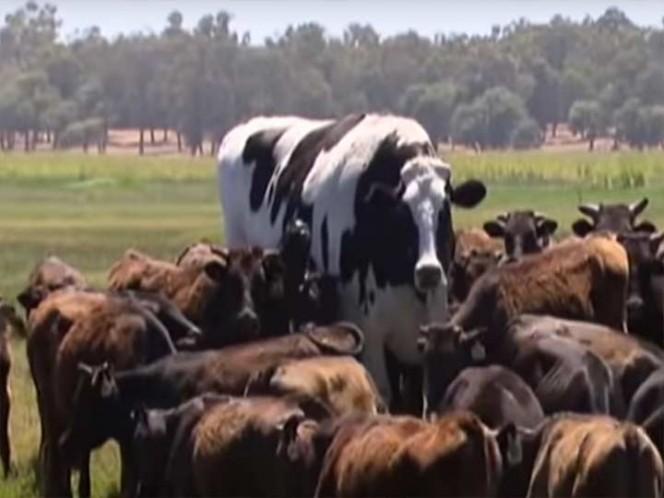 La historia de la gigantesca vaca australiana