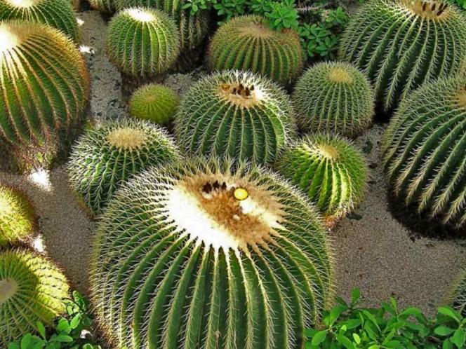 Consumo de acitrón pone en peligro de extinción a cactus mexicano