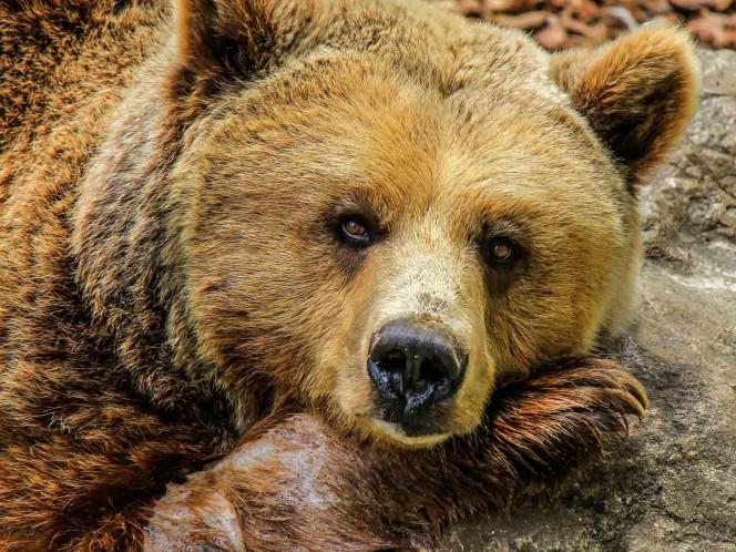 Tiran piedras a un oso y lo hacen caer por un precipicio