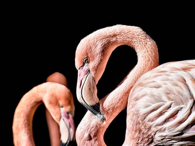 Niño lastima gravemente a un flamingo en Zoológico, tuvieron que dormirlo