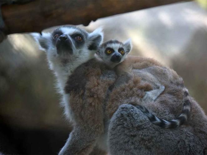 Nacen dos crías de lémur en Aragón y Chapultepec