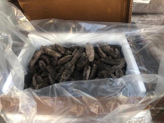 Aseguran 600 kilos de pepino de mar en bodega del AICM