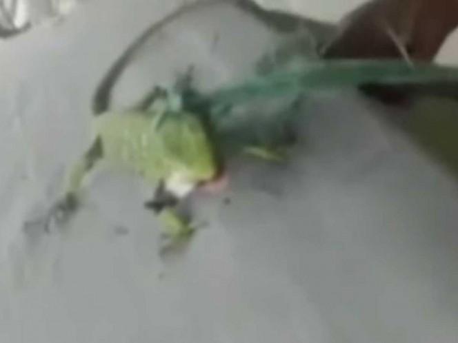 Indignación por caso de iguana que fue obligada a fumar marihuana