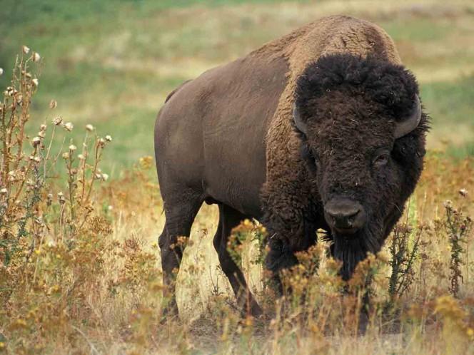 Sacrificarán a 20 bisontes que vagan por los Alpes