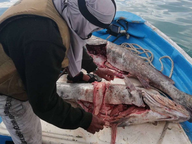 Organizaciones de la sociedad civil realizaron investigaciones sobre la pesca y el comercio ilegal de pez Totoaba en el Alto Golfo de California. Foto: Ernesto Méndez
