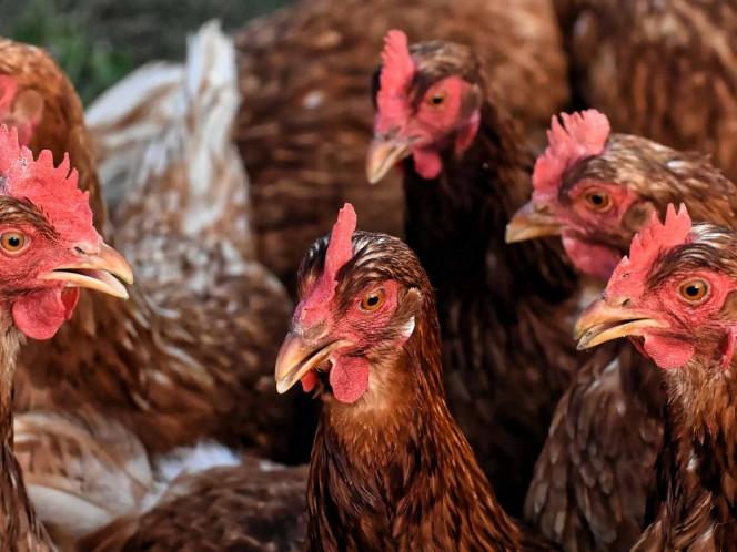 Hombre compra mil gallinas por error y ahora les busca casa