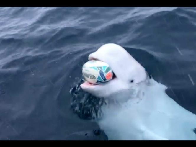 La beluga que juega al rugby con el marinero en el oceáno
