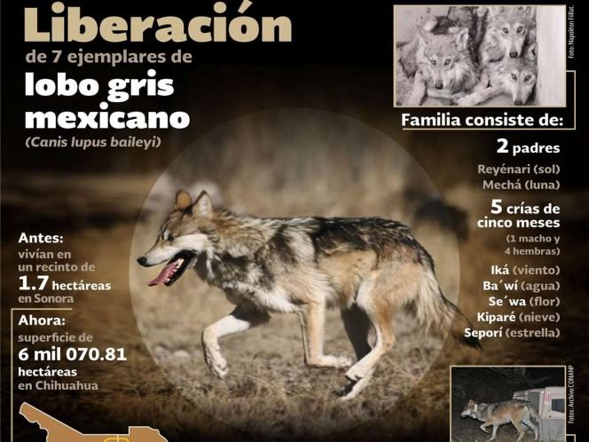 """El aullido del Lobo Mexicano, declarado """"extinto"""" desde finales de la década de los 70, se escucha cada vez más fuerte, ahora que la Semarnat lo cambió de categoría en """"Peligro de Extinción""""."""