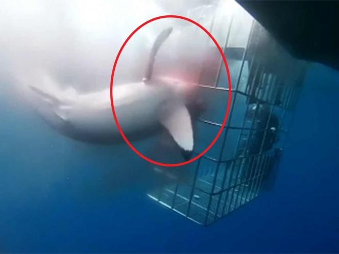 El tiburón blanco permaneció atorado 25 minutos en una jaula sin que nadie hiciera nada para ayudarlo, ocurrió en Baja California