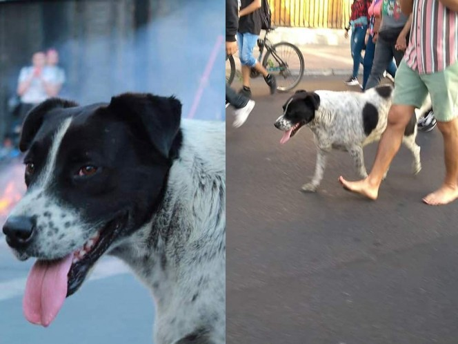 Simularon una marcha para llevar a un perro herido al veterinario — Chile