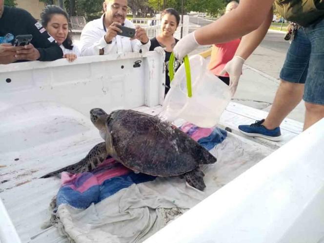 293 tortugas marinas murieron en Oaxaca por ingesta de algas tóxicas